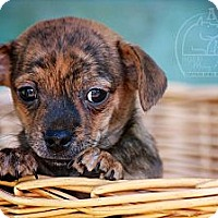 Adopt A Pet :: Little Man - Albany, NY