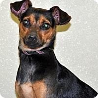 Adopt A Pet :: Major - Port Washington, NY