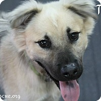 Adopt A Pet :: Troy - Rockwall, TX