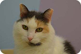 Calico Cat for adoption in Westbury, New York - Maddie