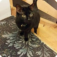 Domestic Shorthair Cat for adoption in Columbus, Ohio - Azriel