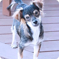 Adopt A Pet :: SUMER - Fort Worth, TX