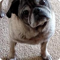 Pug Dog for adoption in Bellbrook, Ohio - Sam Adams