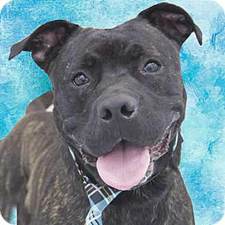 American Staffordshire Terrier Mix Dog for adoption in Cincinnati, Ohio - Trigger