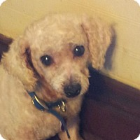 Bichon Frise Mix Dog for adoption in Pardeeville, Wisconsin - Madeline
