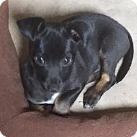 Adopt A Pet :: Pippa - Alpharetta, GA