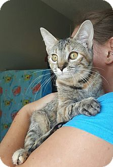 Domestic Shorthair Cat for adoption in Edwardsville, Illinois - monica