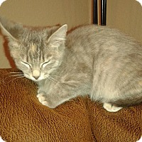 Domestic Shorthair Kitten for adoption in Fort Collins, Colorado - Stormy (DENVER)
