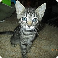 Domestic Shorthair Kitten for adoption in New Smyrna Beach, Florida - Bonnie