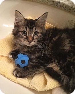 Maine Coon Kitten for adoption in Santa Clarita, California - Queenie