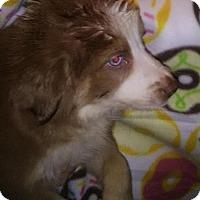 Adopt A Pet :: Lucy - Venice, FL