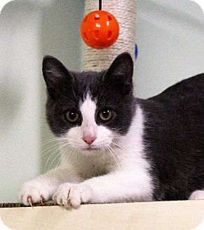 Domestic Shorthair Kitten for adoption in Murphysboro, Illinois - stylus