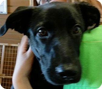 Labrador Retriever/German Shepherd Dog Mix Puppy for adoption in Bloomington, Illinois - Whiskey