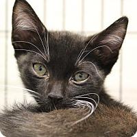 Adopt A Pet :: Cupid - Sarasota, FL