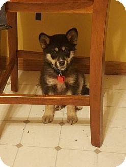 German Shepherd Dog Mix Puppy for adoption in Maple Grove, Minnesota - Maya