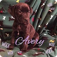 Adopt A Pet :: Avery - Foristell, MO