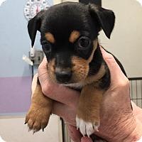 Adopt A Pet :: Trina - Fresno, CA