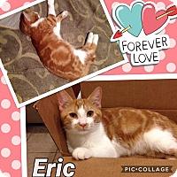 Domestic Shorthair Cat for adoption in Keller, Texas - Eric