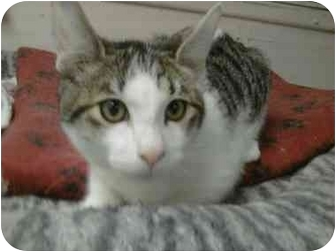 Domestic Mediumhair Cat for adoption in Oakland Park, Florida - Harry