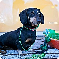 Adopt A Pet :: Sammy Snow - Shawnee Mission, KS