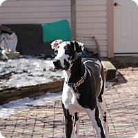 Great Dane Dog for adoption in Lindsay, Ontario - Monty