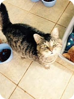 Domestic Shorthair Cat for adoption in East Smithfield, Pennsylvania - Frisky