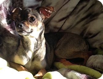 Manchester Terrier/Pug Mix Dog for adoption in Santa Ana, California - Bunkie (ARSG)