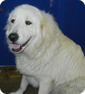 Great Pyrenees Dog for adoption in Granite Bay, California - LOUIE