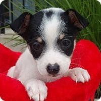 Adopt A Pet :: Jinx - Bridgeton, MO