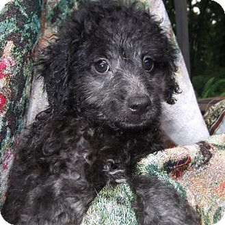 Poodle (Miniature) Puppy for adoption in Venice, Florida - Shireen Orlando