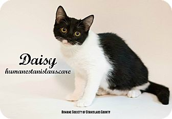Domestic Shorthair Kitten for adoption in Modesto, California - Daisy