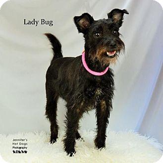 Standard Schnauzer Dog for adoption in Spring, Texas - Lady Bug