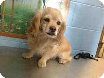 Cocker Spaniel Mix Dog for adoption in San Bernardino, California - URGENT on 10/5 SAN BERNARDINO