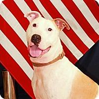 American Pit Bull Terrier Mix Dog for adoption in Austin, Texas - Ebert