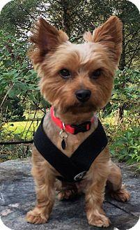 Yorkie, Yorkshire Terrier Dog for adoption in Sinking Spring, Pennsylvania - Samsen