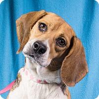 Adopt A Pet :: Dutchess - Minneapolis, MN