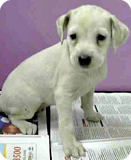 Labrador Retriever/Border Collie Mix Puppy for adoption in Boulder, Colorado - London-Adoption Pending