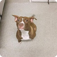 Adopt A Pet :: DUTCHESS DEWDROP - Gloucester, VA