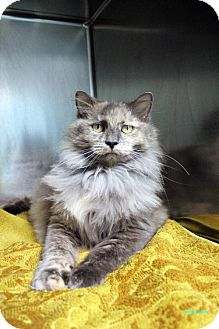 Domestic Longhair Cat for adoption in Paris, Maine - Lancey