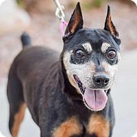 Adopt A Pet :: Ripley - Gilbert, AZ