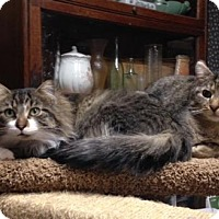 Adopt A Pet :: Simon and Theodore - St. Paul, MN