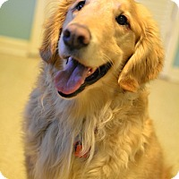 Adopt A Pet :: Kodi Bear - Enfield, CT