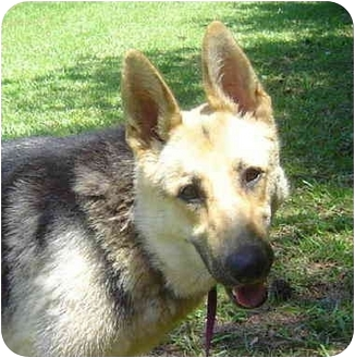 German Shepherd Dog Dog for adoption in Pike Road, Alabama - Allie