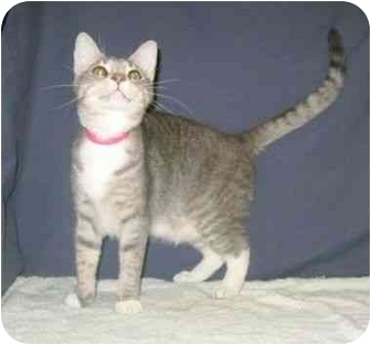 Domestic Shorthair Cat for adoption in Powell, Ohio - Simone