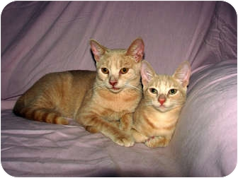 Domestic Shorthair Cat for adoption in Oxford, New York - DD - Snaggy