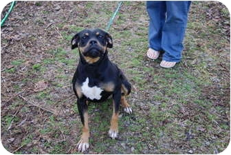 Boxer/Rottweiler Mix Dog for adoption in Hohenwald, Tennessee - Kia