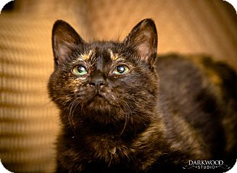 Domestic Shorthair Kitten for adoption in St. Louis, Missouri - Daphne