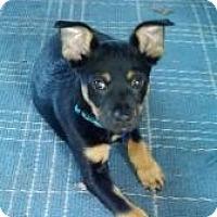 Adopt A Pet :: Sami - Hancock, MI