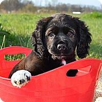 Adopt A Pet :: *Rolo - PENDING - Westport, CT