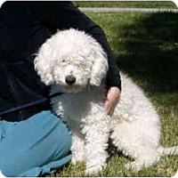 Adopt A Pet :: Cuddles - La Costa, CA